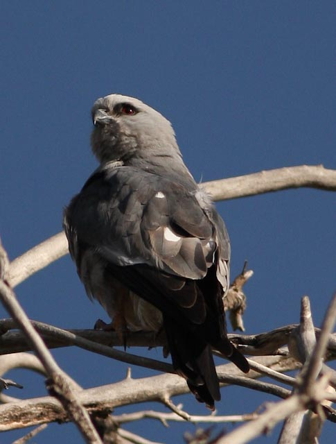 Mississippi_Kite2