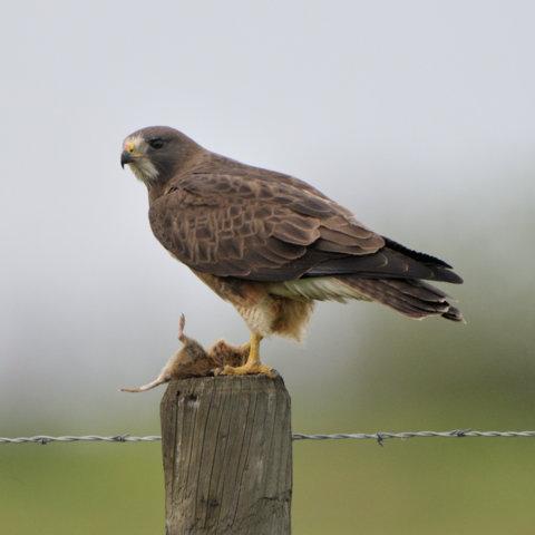 Swainson's Hawk_MercedNWR-CA_LAH_0048