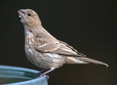 House Finch_BlkForest-CO_LAH_7850
