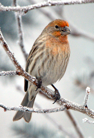 House Finch_LaVeta-CO_LAH_2357