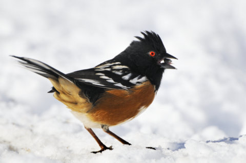 Spotted Towhee_LaVeta-CO_LAH_5540