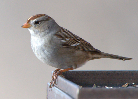 White-crowned Sparrow at feeder_FCNC_LAH_2888.nef