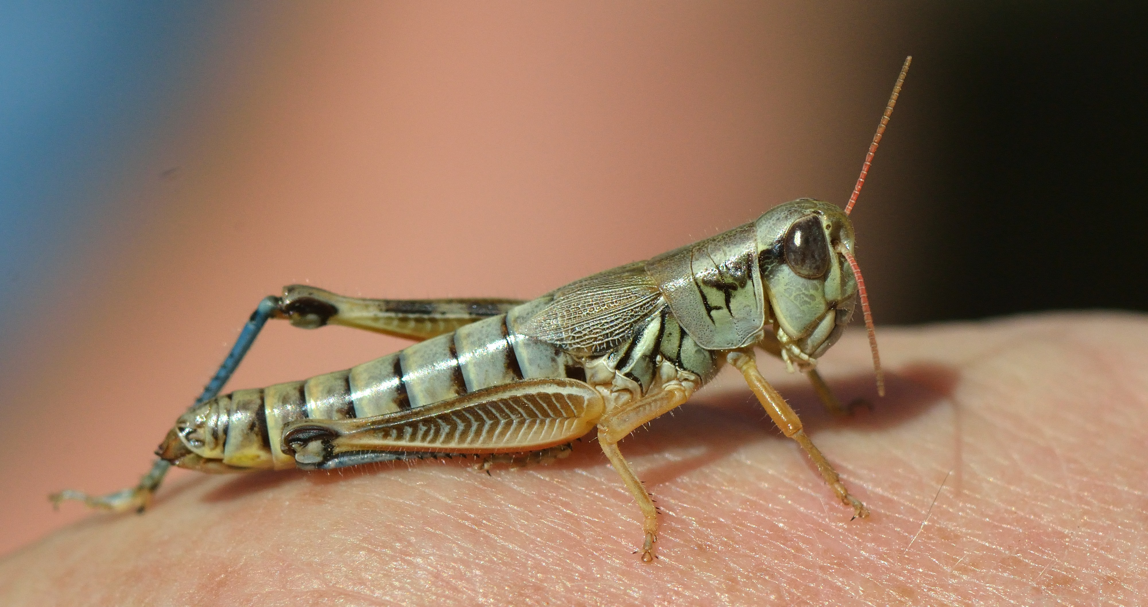 Grasshopper_HomesteadRanchPark-CO_LAH_7003