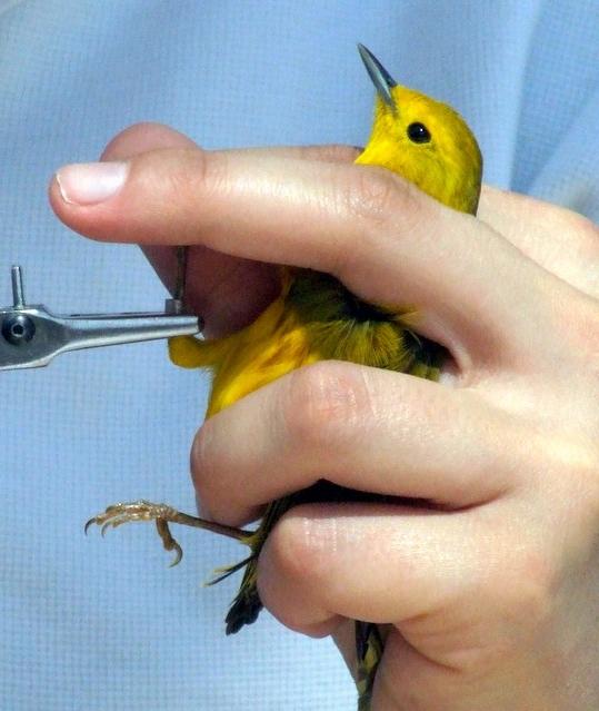 Banding Yellow Warbler @ FCNC 2007may05 LAH 140r